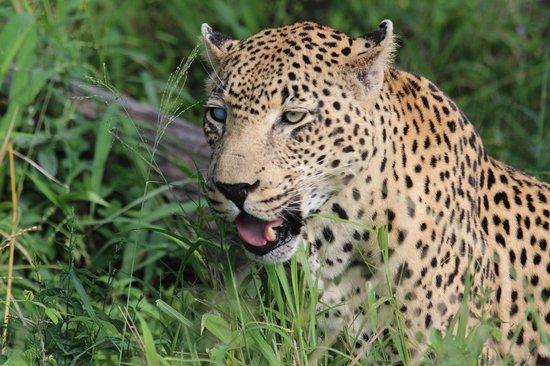 Notten's Bush Camp: Leopard at Notten's