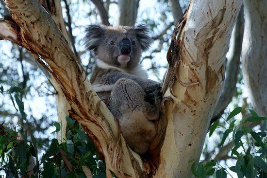 Kangaroo Island Odysseys: A koala awake at last