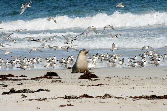 Kangaroo Island Odysseys: Sealions on Seal bay