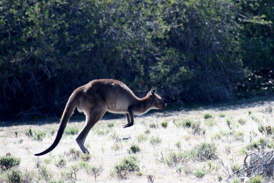 Kangaroo Island Odysseys: Kangaroo, obviously