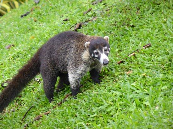 Hotel Lomas del Volcan: Koati rencontré dans le parc