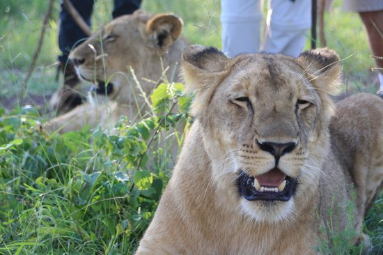 Walking with Lions at Victoria Falls: The lions