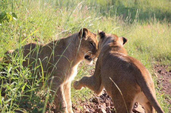 Walking with Lions at Victoria Falls: Lions wrestling