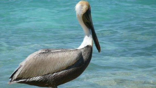 Beachscape Kin Ha Villas & Suites: Pelican