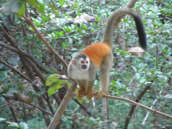 Jungle Beach Hotel at Manuel Antonio: Monkeys right outside of your room!