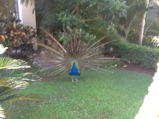 Casa Velas: Paulo one of the six resident peacocks