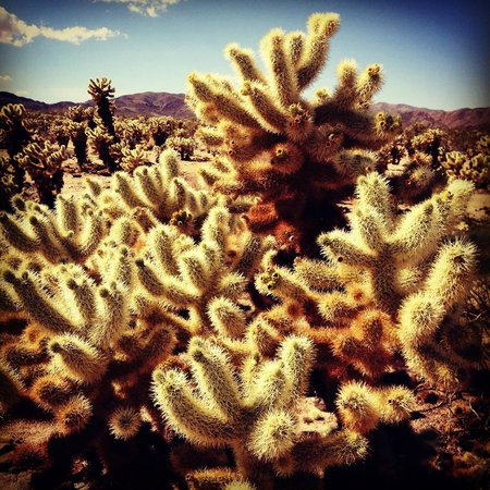 Jumping cholla cactus picture of cholla cactus garden - Cholla cactus garden joshua tree ...