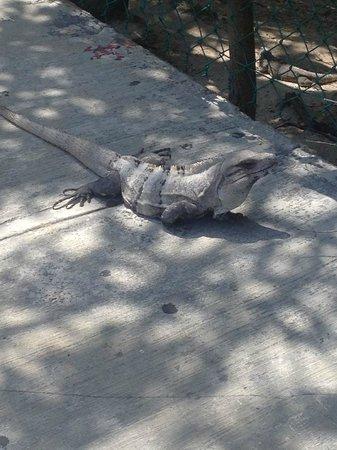 The Royal Caribbean: Lizards!