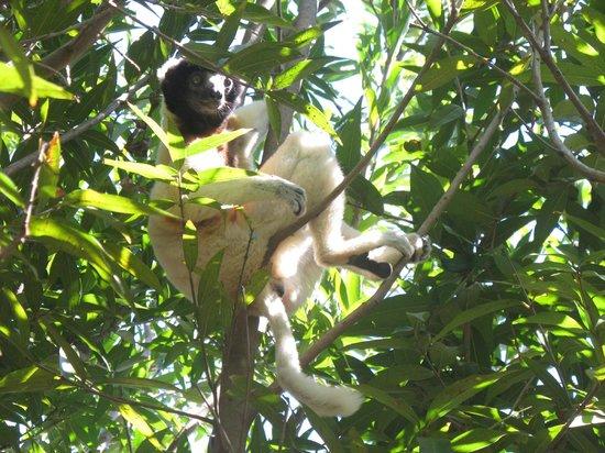 Lemurs Park : Лемур в природе