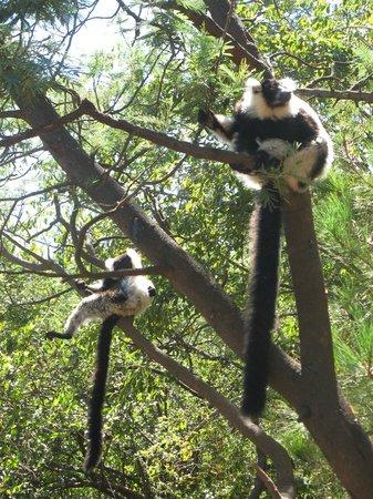Lemurs Park : Семейство