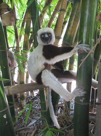 Lemurs Park : Лемур Маки обнимает бамбук
