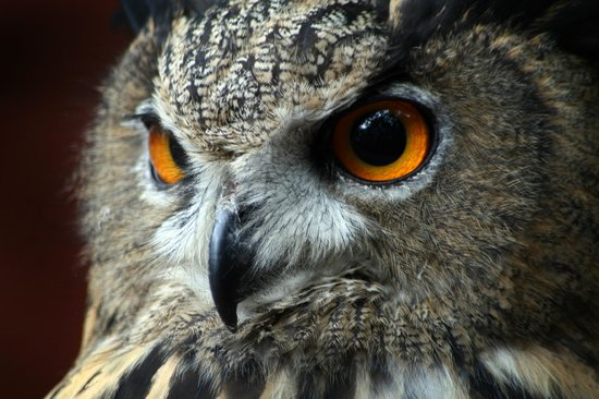 "Preston, UK: ""Checkers"" Eurasian Eagle Owl"