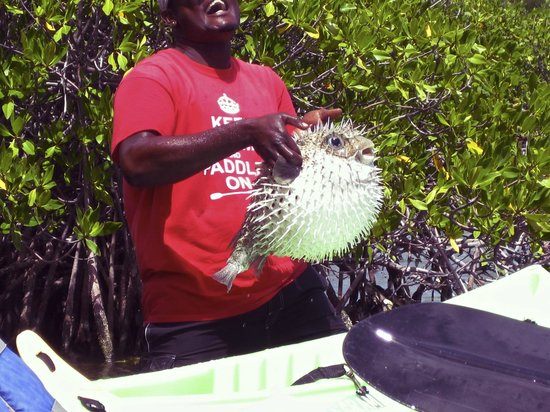 Paddles Snorkel and Kayak Eco Adventure: Found a Blowfish