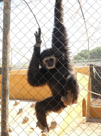 Monkey Park : The Gibbon