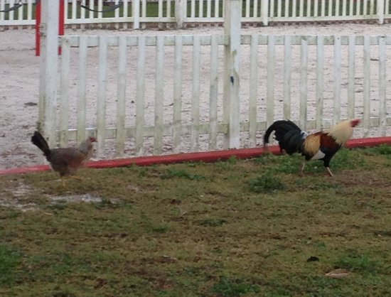 Knights Inn: Rooster roaming the grounds