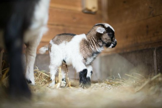 School Cottages Bed & Breakfast: Newborn goat
