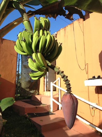 La Paloma Guest House: Banana tree outside our room