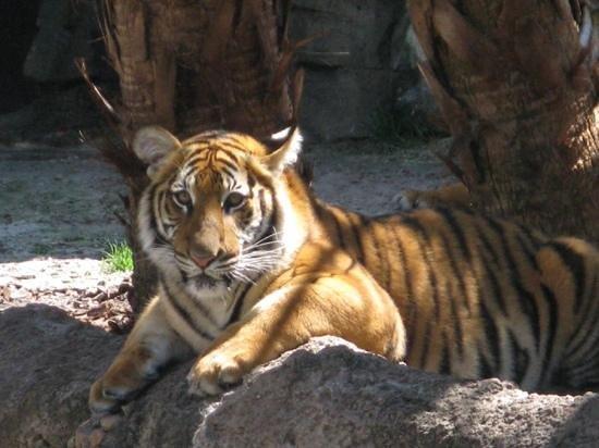 Busch Gardens : lovely tiger