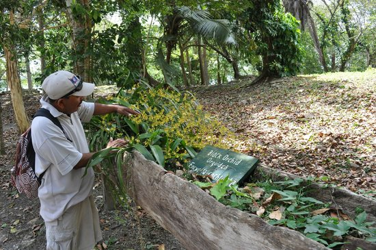 Lamanai Archaeological Reserve: A black orchid in the midst of all the yellow flowers