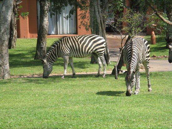 AVANI Victoria Falls Resort: Zebras roam the grounds