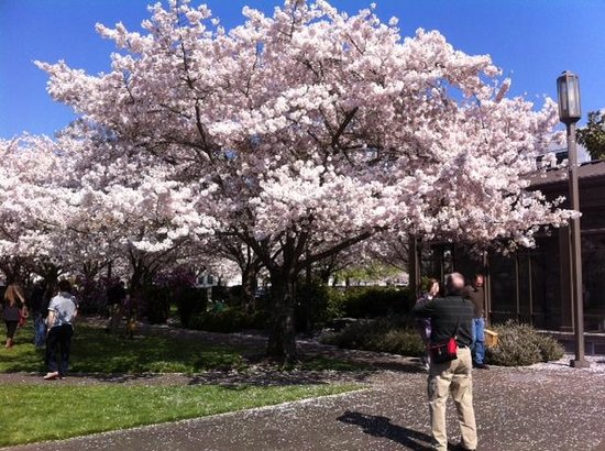 Oregon State Capitol : Cherry blossoms at Oregon capitol