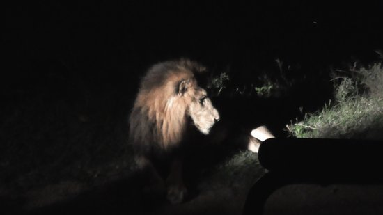Thornybush Game Lodge: Male Lion At Less Than 2 Meters!