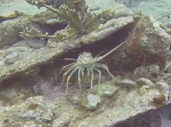 Ocean Divers Bayside : lobster