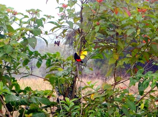 Eco Arenal Hotel: Passerini's Tanager (male)