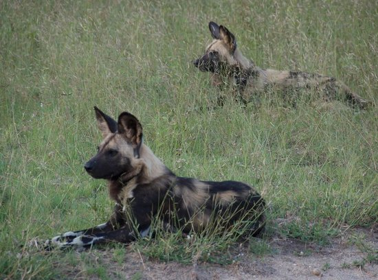 andBeyond Ngala Safari Lodge: Rare sighting of the Wild Dogs
