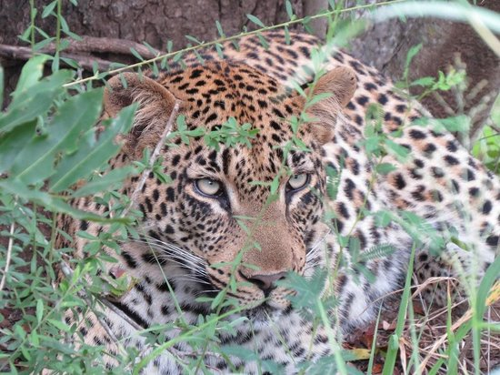 andBeyond Ngala Safari Lodge: leopard