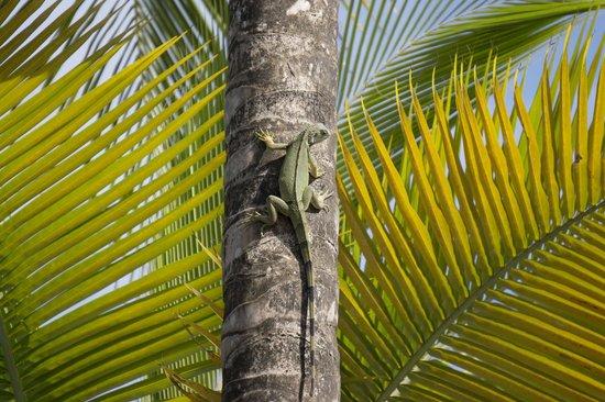 The St. Regis Bahia Beach Resort, Puerto Rico : Iguana by the pool