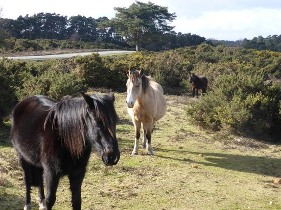 New Forest: Ponies!