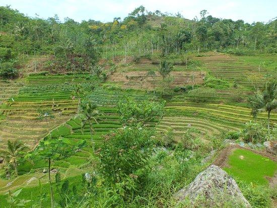 Villa Sumbing Indah: Rizières autour de la Villa Sumbing