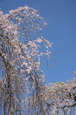 Komuroyama Park: しだれ桜もあります