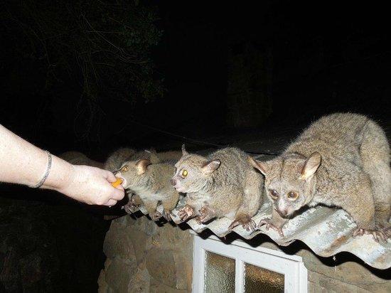 Reilly's Rock Hilltop Lodge: Bushbaby feeding time