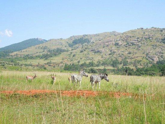 Reilly's Rock Hilltop Lodge: Zebra, wildebeest, buck, hippo and croc roam the reserve