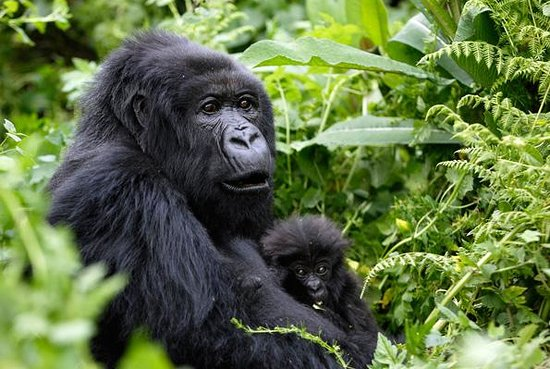 Gorillas and Wildlife Safaris : mother with its baby