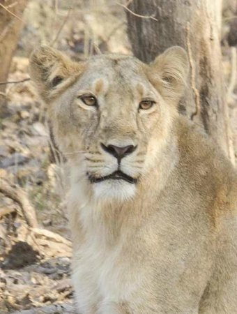 Gir National Park and Wildlife Sanctuary: Lioness Stare