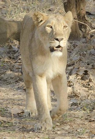 Gir National Park and Wildlife Sanctuary: Lioness on the move