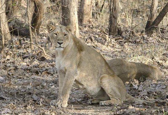 Gir National Park and Wildlife Sanctuary: Lioness on the alert