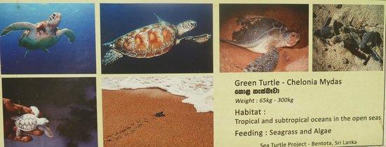 Sea Turtle Protection Association: die verschiedenen Schildkröten Arten