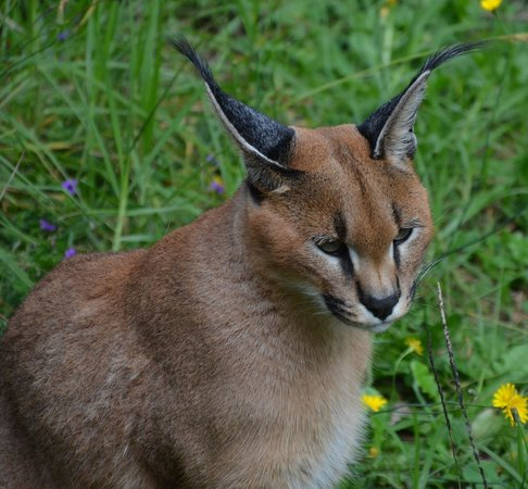 Tenikwa Wildlife Awareness Centre: Caracal/Lynx