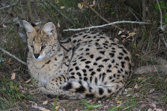 Tenikwa Wildlife Awareness Centre: Serval