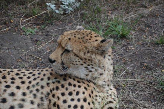 Tenikwa Wildlife Awareness Centre: Cheetah