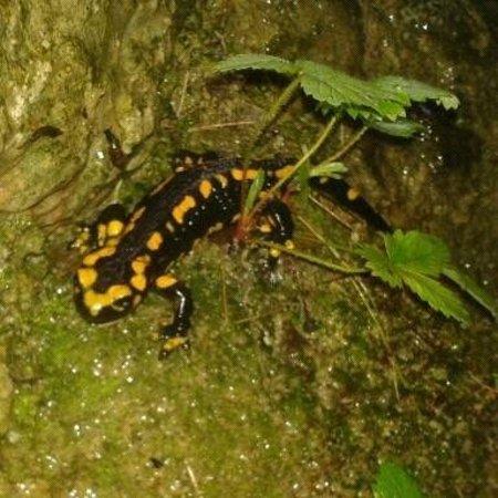 Zoo de Santillana: Salamandra