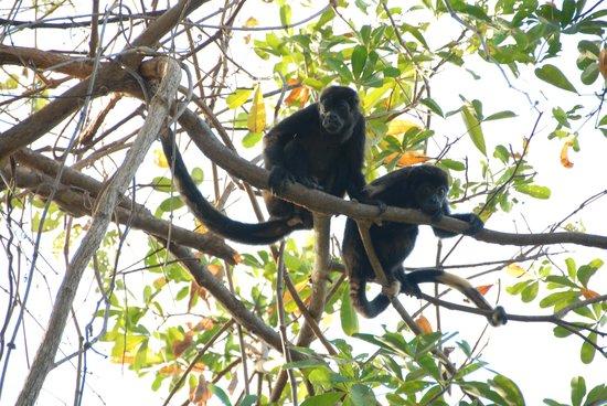 Pacific Bay Resort: les singes hurleurs