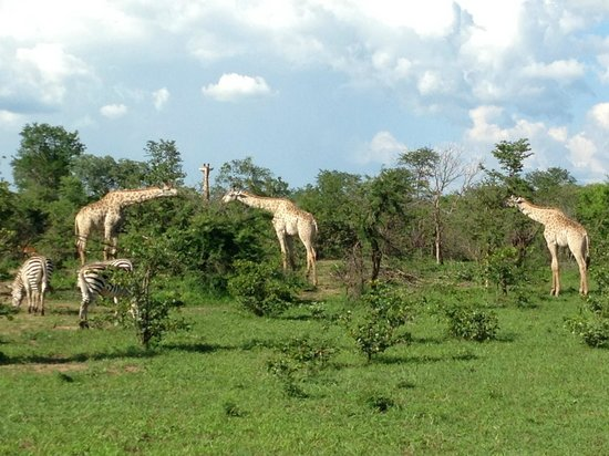 Wilderness Safaris Toka Leya Camp: Giraffe