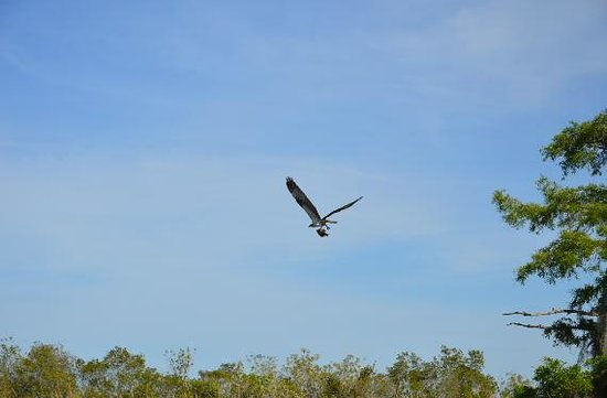 Florida Cracker Airboat Rides & Guide Service: Male Osprey carrying a fish back to the nest