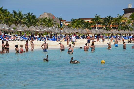 Grand Bahia Principe Tulum : пеликаны на пляже