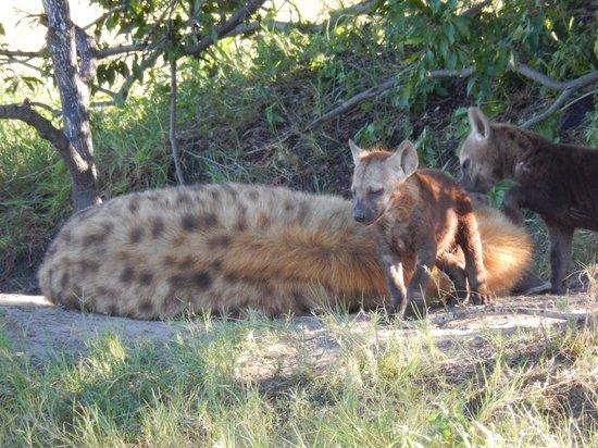 Wilderness Safaris Little Vumbura Camp: Hyena and cubs